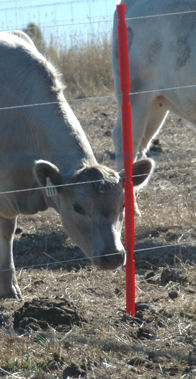 Cow by temporary fence